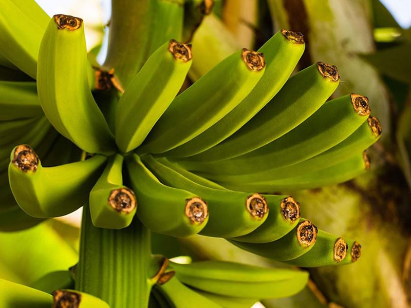 Salvita Alimentos • Bananas